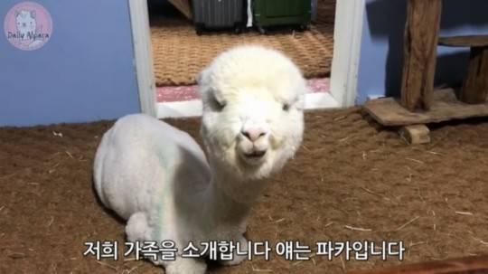 原创 韩国艺人清潭洞生日派对引发荼毒动物争论 羊驼主人出头澄清