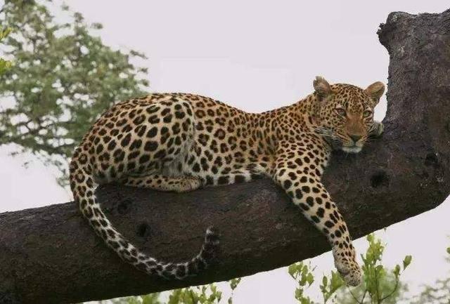 原创 灵长类最强的银背,战力在野生动物中是什么段位?能与老虎一较高下吗?