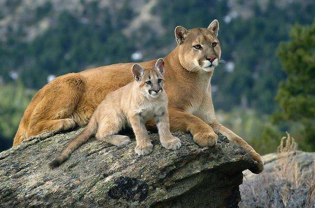 原创 不会咆哮的都是猫亚科动物?雪豹、云豹的存在打破了此说法