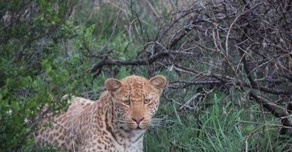 原创 南非发现颜色最罕有的豹子,数目比黑豹更少,草莓豹不足10头!