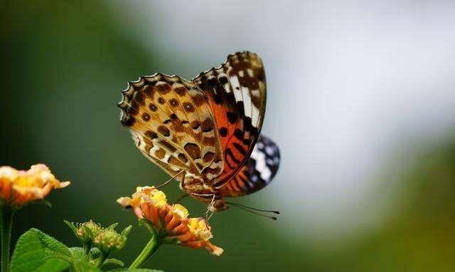 没想到蝴蝶也能遛 也没想过蝴蝶竟然能够食肉?