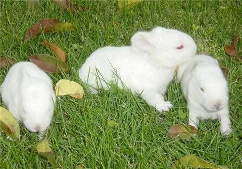 兔藓影响兔子长个子吗