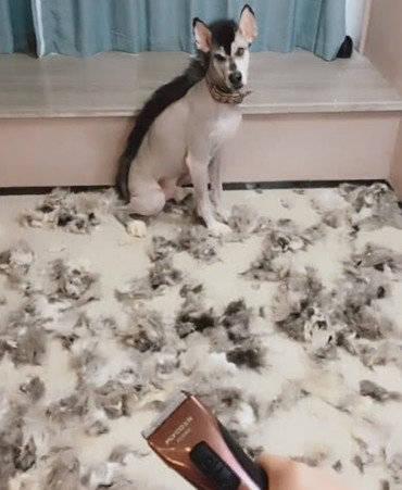 原创 主人为削减狗狗掉毛,给狗狗剃毛做新发型,因太雷人遭狗狗嫌弃