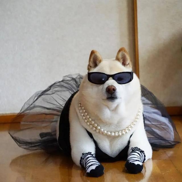 天天戴珍珠链,穿玄色晚装?贵气阔太13岁柴犬神秘身份曝光