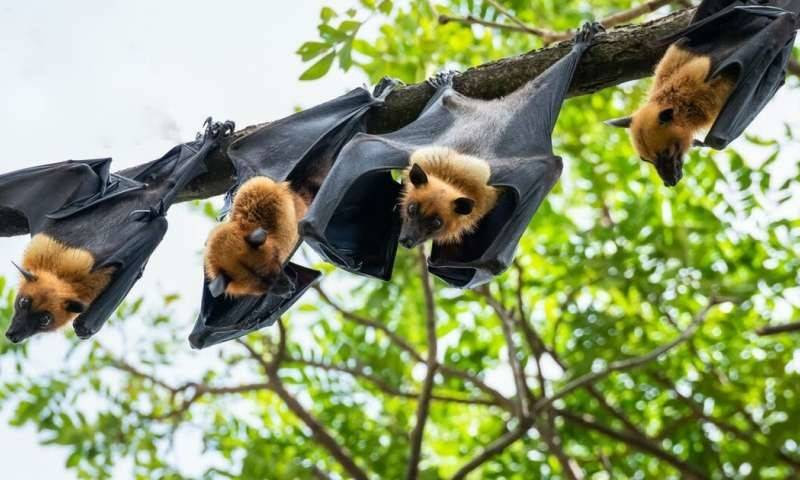 PHYS:为什么蝙蝠不会得新冠肺炎?英国专家:因为它会飞