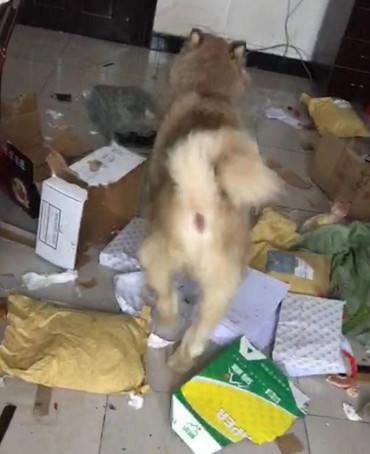 原创 路边收留了只狗狗,带回家三天就最先造反了,主人差点气得撞墙