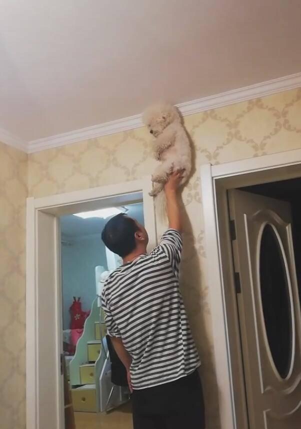 原创 主人把狗狗举高高,狗狗畏惧摔下来,吓得像个玩偶!
