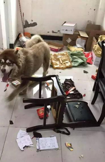 原创 主人把狗狗放家里,出差三天不到,回到家后一切都跟遭了贼一样