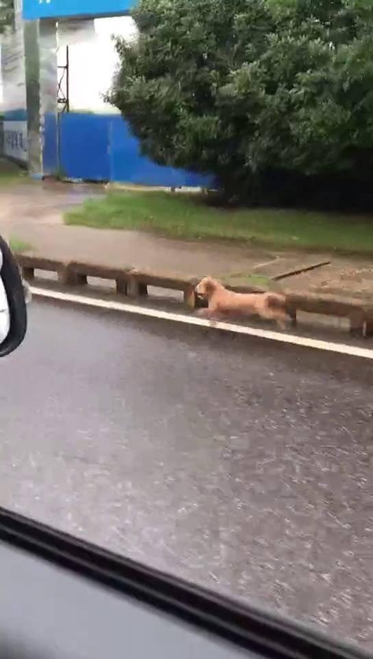 狗狗从电动车上掉了下来,狂追了一公里才追上主人,差点跑气绝