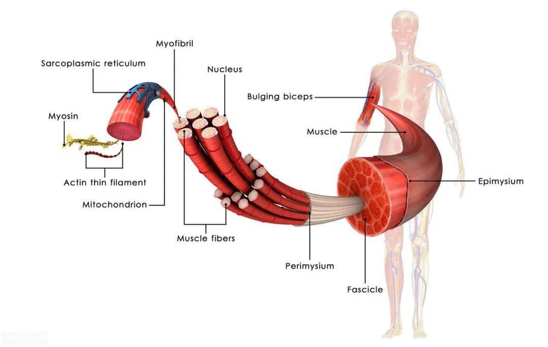 脂肪能变成肌肉吗?二者是完全不同的物质,无法互相转换!