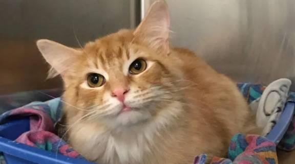 这只橙色的猫长大了,变了。你们家的橙色猫把炕压得喘不过气来吗? 有十八米长大客车
