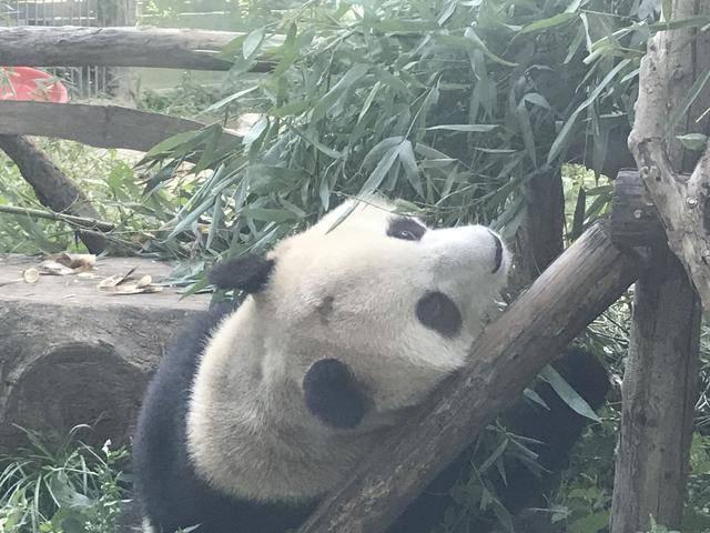 """北京动物园回应网红熊猫秃头 大熊猫""""福星""""遭"""