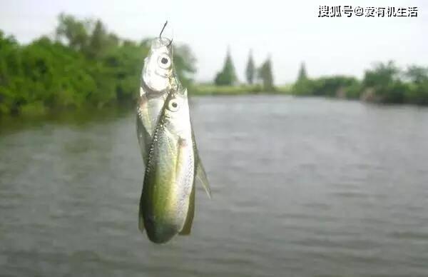 这种鱼经常成群游弋于浅水区上,肉质细