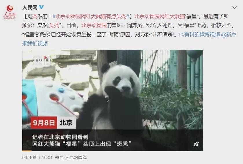 真相来了!大熊猫也会秃顶?