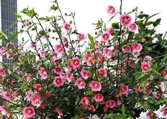 """是盆栽""""花王"""" 一盆几百朵 三季开花 家里一盆"""