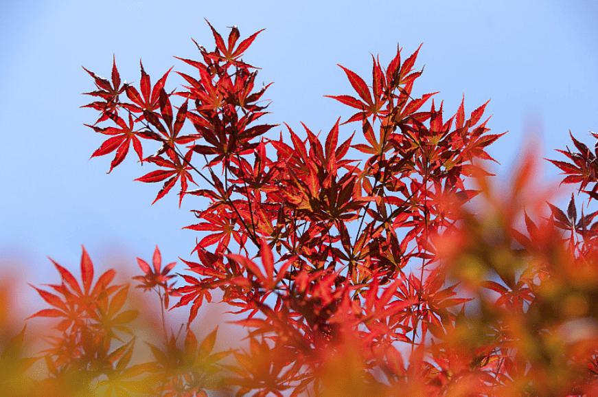 北京最全赏枫好去处!满山遍野的红叶,再不去就晚了