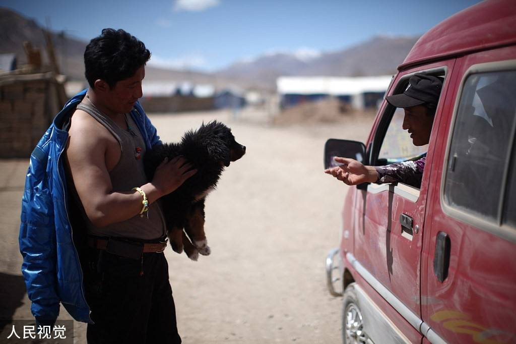 恒达官网数万藏獒流浪在藏区:攻击儿童、围攻雪豹 九成当地人反对捕杀(图3)