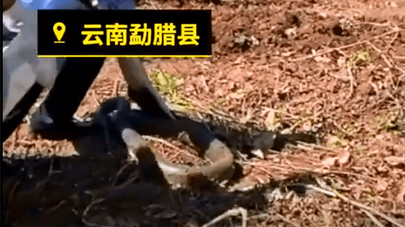 胆小勿点!勐腊村民请挖机犁地挖出2米长巨蟒