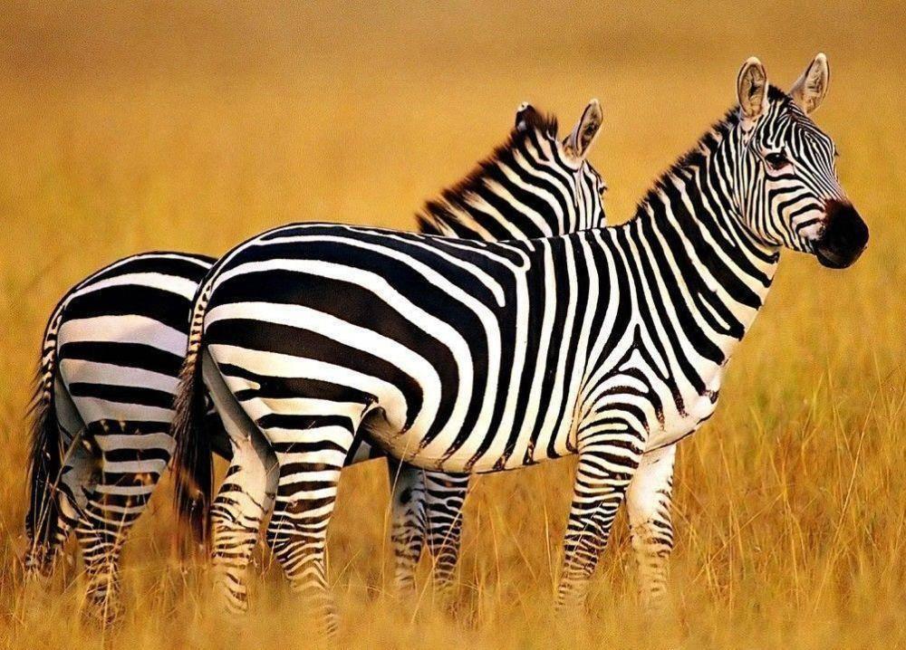 最常见也最狡猾的动物,一身保护色让人难解,猎豹被耍得团团转