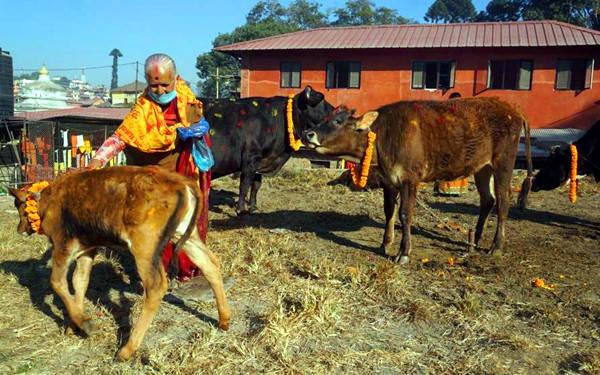 灯节牛儿戴花环 祈求繁荣和光明