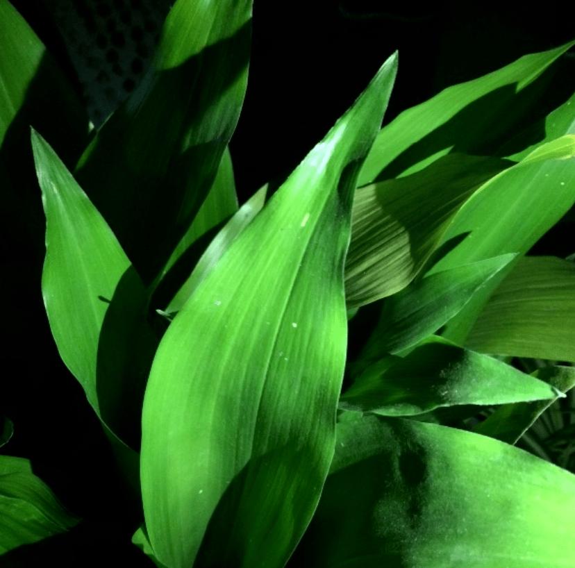 一叶兰叶子下垂图片