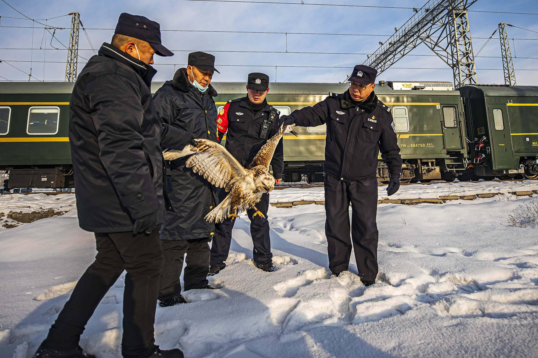 鹰隼被电蒙圈卧雪  铁警救助重返蓝天