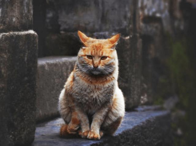 敢相信吗?购买中华田园猫有这么多好处!_中华田园猫怎么养