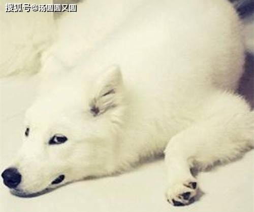 原文【宠物提示】萨摩耶感冒不是大问题