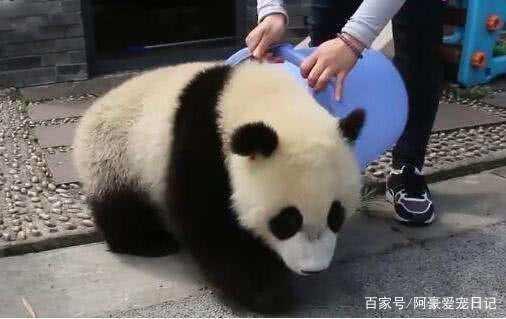 调皮大熊猫贪玩不回家,被饲养员阿姨一把拎起:还治不了你?