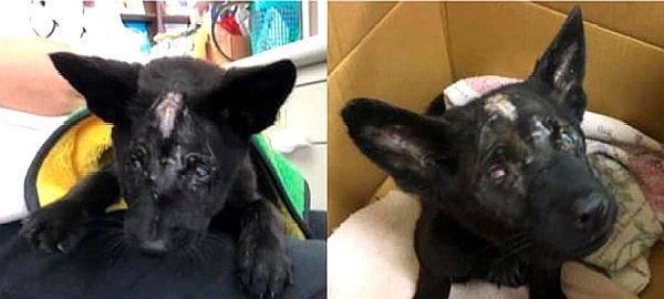 失明流浪狗被撞成残疾,啃食辣椒坚强求生!获救后在主人怀中甜睡