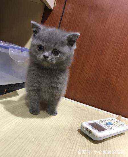 家里养了一只蓝猫,会有什么样的体验?