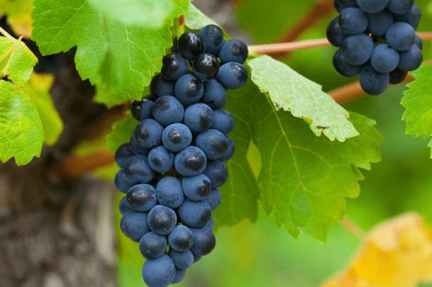 心理测试:渴了一天,会摘哪串葡萄?测你即将要发生的好事是什么
