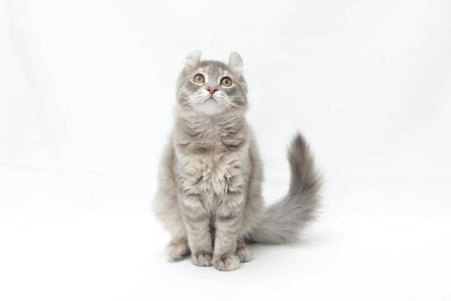 美国卷耳猫价格多少钱一只图片