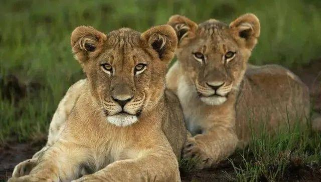 """地球上""""最强""""的6种动物,狮子垫底,河马第3,第1可单挑狮群!"""