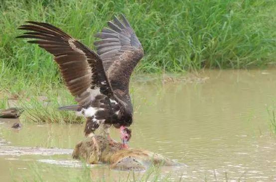 这只鬣狗遭遇了什么?下水咆哮一声便倒地不起,沦为秃鹫的腐食