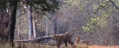 亚洲掏肛兽偶遇老虎,老虎不屑一顾,径直走过,不愧是森林霸王