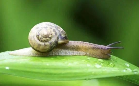 蜗牛是什么动物?蜗牛一般以什么为食?插图(2)