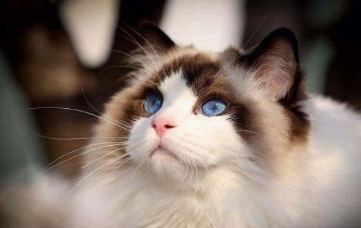 布偶猫多少钱一只图片