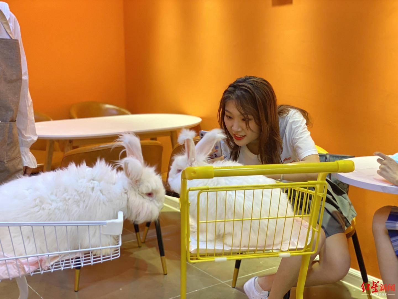 撸兔子的店见过吗?20只安哥拉巨兔随你撸,还可给它们打腮红、戴墨镜……