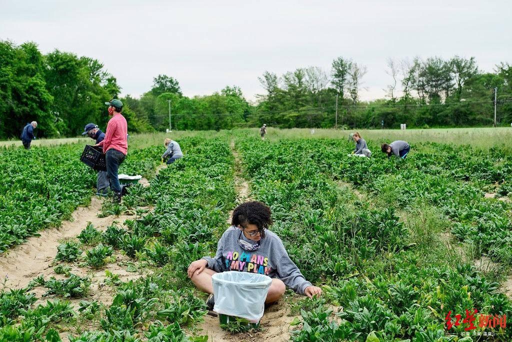 疫情下美政府与农产品公司解约他们为滞销产品和饥饿者搭起桥梁