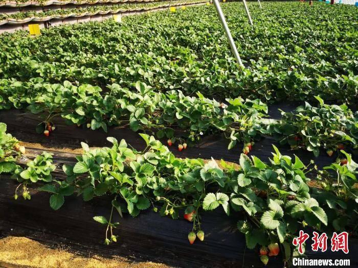 """""""中国草莓第一县""""如何炼成?"""
