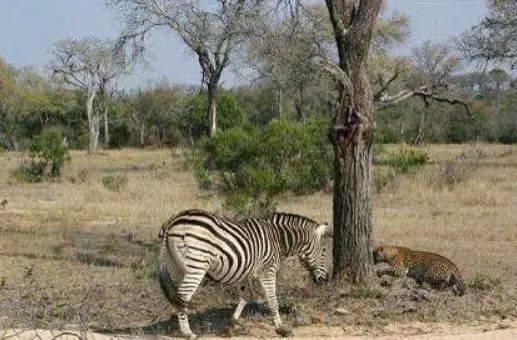 河南一动物园斑马出逃上路 斑马:我要出去看看外面的世界
