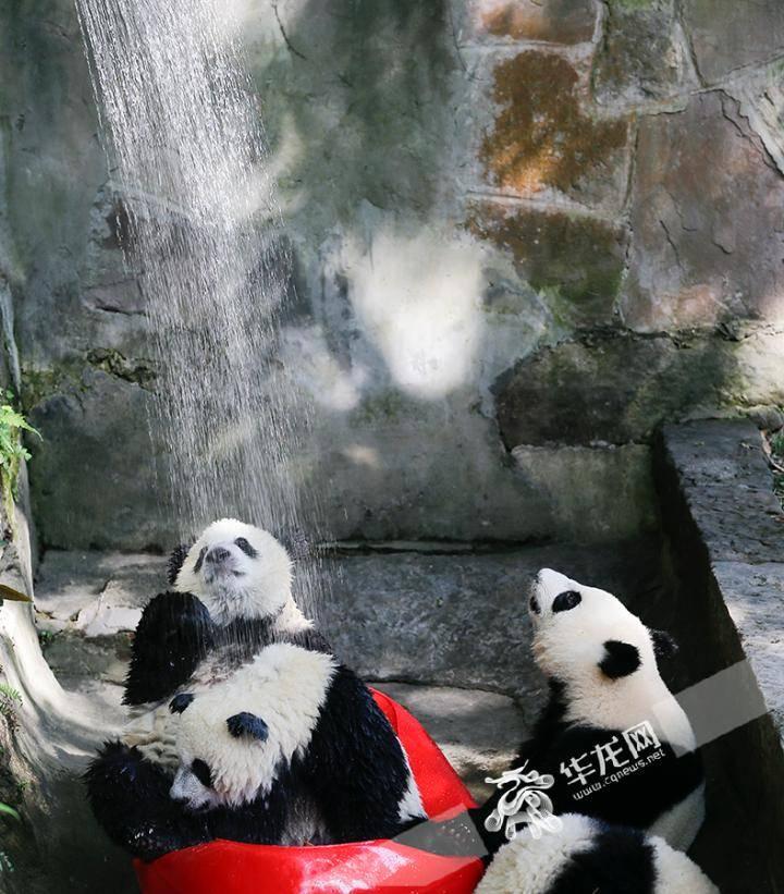 40℃的重庆来了,动物园的熊猫河马们怎么消暑?