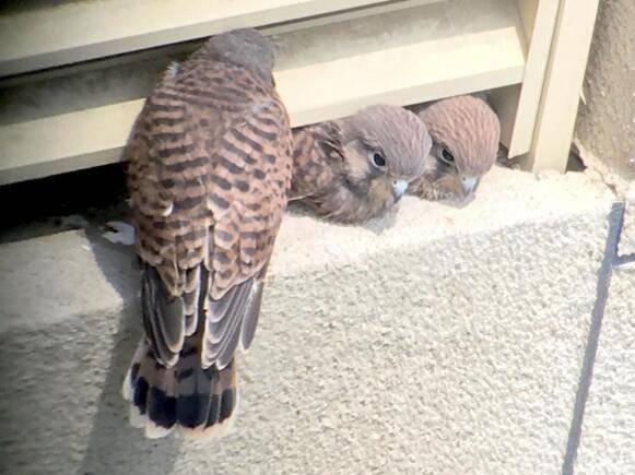 北京一小区再现红隼夫妇!空调外挂机筑巢,孵出六只宝宝