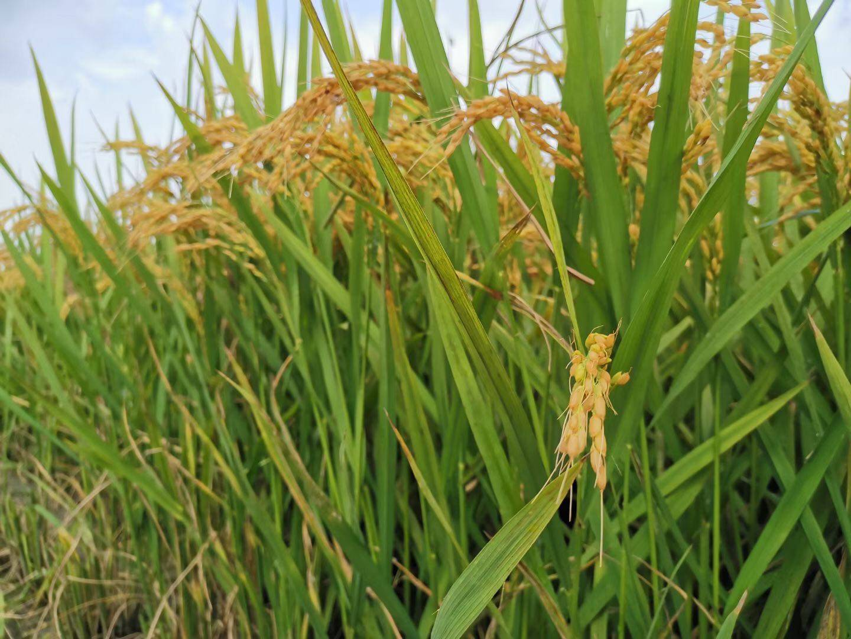 """持续高温""""催熟""""上海松江早熟稻,预计总产量达460吨"""