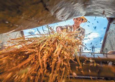 <strong>水稻丰收促进农民增收 水稻大丰收图</strong>