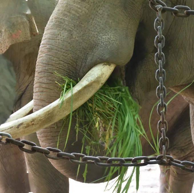 """[云游园]走近杭州动物园之星--亚洲象""""诺诺"""""""
