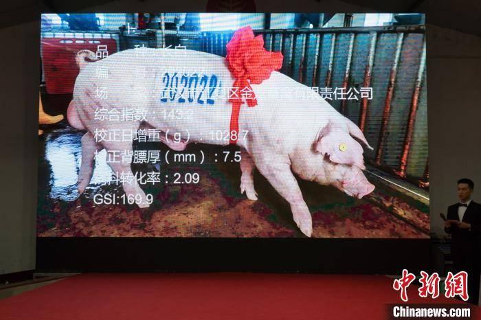 """第20届中国武汉种猪拍卖会:""""猪王""""成交价4.2万元"""