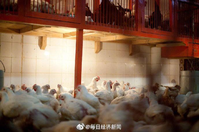 中国鸡肉养殖陷入亏损  农业农村部:一只肉鸡平均亏损3毛钱