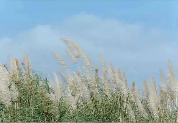 《【天游测速注册】秋意渐浓,奉贤和沪上其他地区的芦苇荡你pick哪个?》